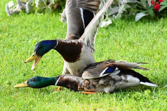ducks-3826244_1920
